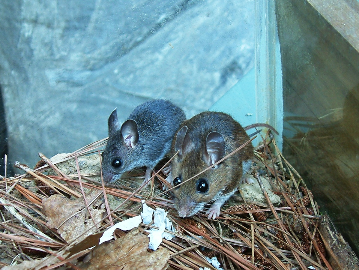 White Footed Mouse Vs Deer Mouse