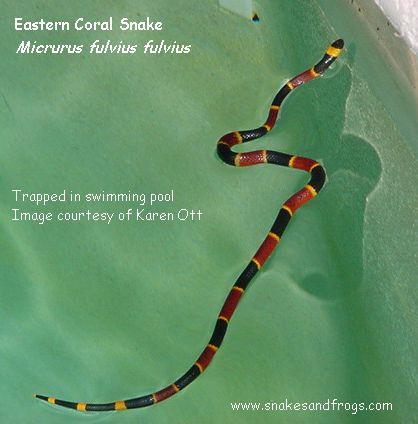 Coral Snakes Body Diagram House Wiring Diagram Symbols