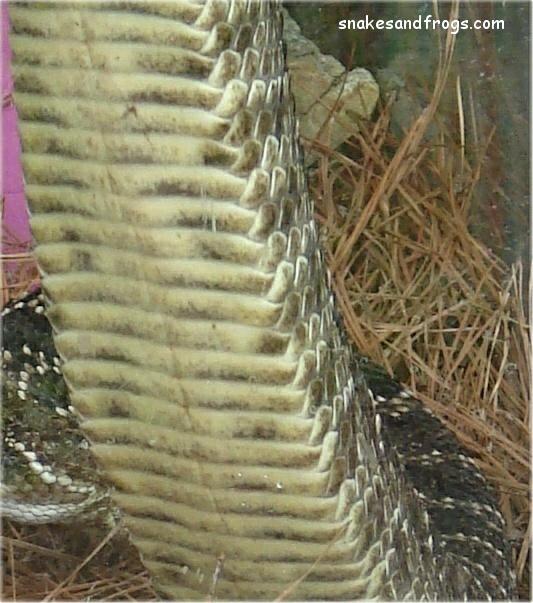 Eastern Diamondback Rattle Snake Page