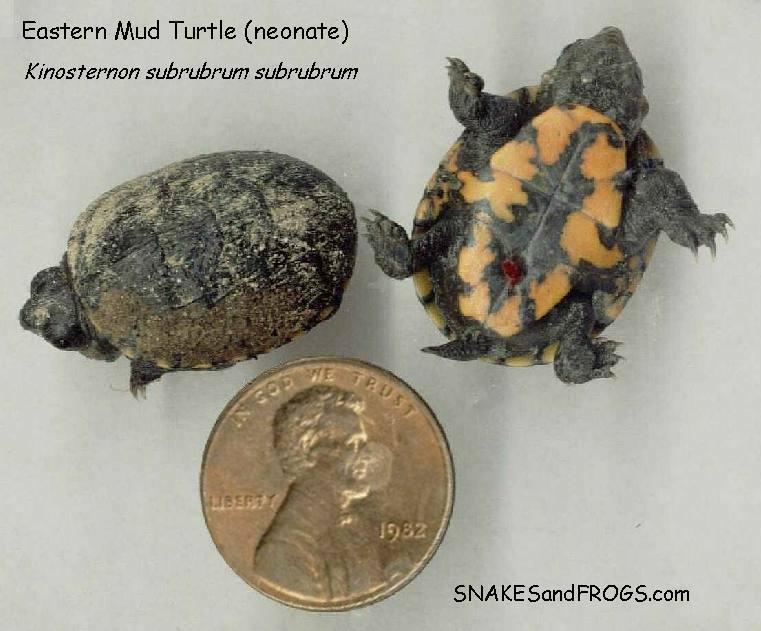 Eastern mud turtle baby